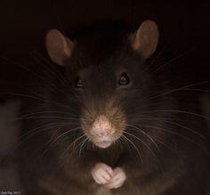 Klogg, Briony's pet rat