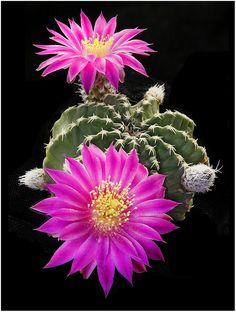 Echinocereus pulchellus - Fique a conhecer as nossas dicas de jardinagem em: www.asenhoradomonte.com
