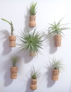 """Air plants displayed in upcycled champagne cork """"vases."""" See how I did it!"""
