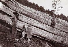 Fallen chestnut tree, Tennessee.