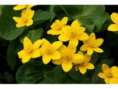 I know this as swamp marigold. Caltha palustris, Caltha palustris L.,Yellow marsh marigold, Yellow marsh-marigold, Cowslip, Ranunculaceae (Buttercup Family)  (Yellow marsh marigold) #32404