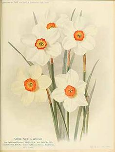 273113 Narcissus / The garden. An illustrated weekly journal of horticulture in all its branches [ed. William Robinson], vol. 74:  (1910)