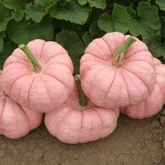 I actually bought pink pumpkins this year from a farm that grows them in Modesto,Ca. It's the Pink Pumpkin Foundation. They are Pink Porcelain Pumpkins. Proceeds from each pumpkin sold go to breast cancer research. Pink Love, Pretty In Pink, Pink And Green, Hot Pink, Purple, Tips And Tricks, Plant Covers, Pink Pumpkins, Painted Pumpkins