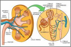 Nefrona: unidad funcional del riñón