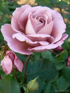 Floribunda rose 'Nimbus', Le Grice UK 1989