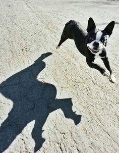 The spirit of a Boston Terrier. Let's just say as a breed--they cast long shadows.