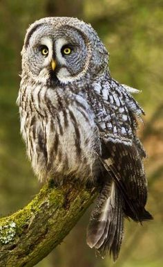 Owls are a large group of predatory birds, meaning that they usually hunt for their food. There are about 200 different owl species. Owl Photos, Owl Pictures, Beautiful Owl, Animals Beautiful, Owl Bird, Pet Birds, Strix Nebulosa, Nocturnal Birds, Great Grey Owl