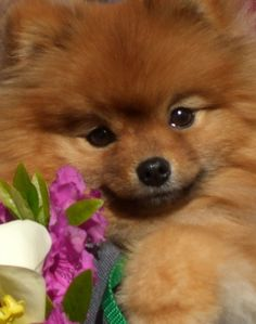 About Flint - Flint The Pomeranian