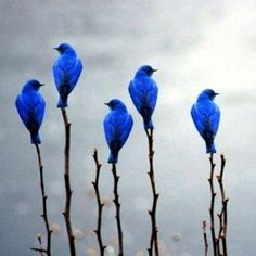 Indigo Buntings...beautiful!!!
