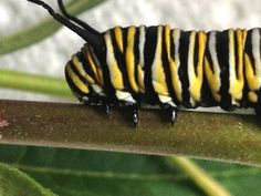 Real legs of the monarch caterpillar as opposed to the back prolegs.
