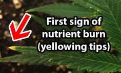 Nutrient burn: the first sign is burnt or yellow tips on the leaves. Source: http://growweedeasy.com/nutrient-burn-cannabis