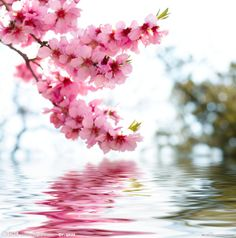 Oh these trees are so beautiful in the spring. Look how it glows in the lake...