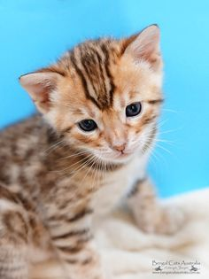 Bengal kitten: 3 weeks old.