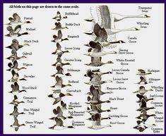 The World Of Amazing Waterfowl Birds
