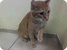 Brooklyn, NY - Domestic Shorthair. Meet ACE, a cat for adoption. http://www.adoptapet.com/pet/11489930-brooklyn-new-york-cat