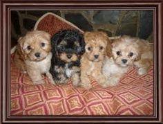Cavapoo puppies sweet babies