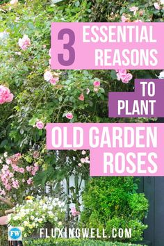 3 Essential Reasons to Plant Old Garden Roses will give you some rose ideas, even if you have never been able to grow roses before. Tired of messing with disease-prone hybrid tea roses? Old garden roses are disease-resistant and deer-resistant. Avoid rose problems by planting these flowers in your flower garden and enjoy beautiful blooms each year.  Old garden roses are nearly the perfect garden plant. If you want to have a pretty garden without much effort, try these! #gardeninspiration…