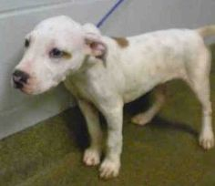 Found Dog in to Jacksonville Animal Care and Protective Services Today 9/25/2014   DOG - ID#A890875 I am a male, white and brown American Staffordshire Terrier. The shelter staff think I am about 11 weeks old. I have been at the shelter since Sep 25, 2014.  Contact information: Jacksonville Animal Care and Protective Services 2020 Forest St. Jacksonville, FL 32204 (904) 630-2489 (CITY)
