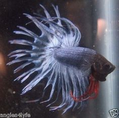 Gorgeous-Steel-Blue-Crowntail-Thai-Import-P25