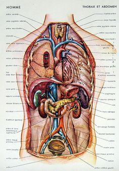 13 best anatomy images on pinterest anatomy anatomy reference and rh pinterest com torso anatomy picture male torso anatomy diagram