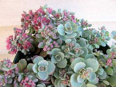 Hylotelephium cauticola (Sedum cauticola) – Cliff Stonecrop - See more at: http://worldofsucculents.com/hylotelephium-cauticola-sedum-cauticola-cliff-stonecrop