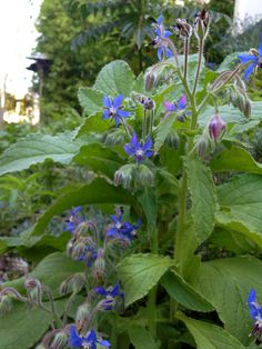 Borage in the gardens. Borage, an edible flower, brings the bees to the garden and is a companion plant to tomatoes.   http://ediblegardensla.tumblr.com/