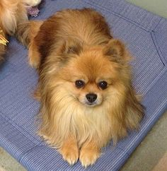 Charlie Bear is an adoptable Pomeranian Dog in Irvine, CA. CHARLIE BEAR - 5yrs, 8lbs  Charlie Bear is a sweet brown eyed boy who loves to cuddle....