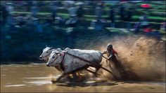 Pacu Jawi (Cow race) by Michail Vorobyev on 500px