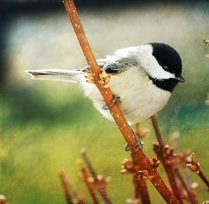Chickadee: cute & curious! My favorite bird other than chicken!