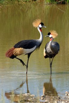 """Crowned Cranes ~ Miks' Pics """"Fowl Feathered Friends ll"""" board @ http://www.pinterest.com/msmgish/fowl-feathered-friends-ll/"""