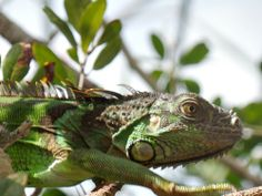 The Florida Keys and the Everglades National Park are home to numerous invasive species including the iguana