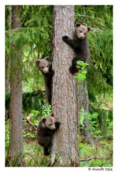 At any sign of danger mother bear directs her cubs of a few months old in the tree. Brown Bears - Cool and Interesting Facts for Kids
