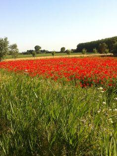 Countryside Welberg. Papaver