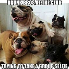 I seriously love everything about this picture. An English bulldog, French bulldog, Pug and a Boston Terrier. My future household combination! Funny Animals With Captions, Funny Animal Memes, Funny Animal Pictures, Funny Dogs, Animal Pics, Fun Funny, Animal Quotes, Funny Captions, Animal Humor