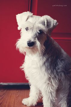 Tomorrow's the First Day of Spring by Melissa Heard #Miniature #Schnauzer