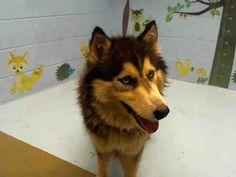 Siberian Husky dog for Adoption in Moreno Valley, CA. ADN-659245 on PuppyFinder.com Gender: Female. Age: Adult