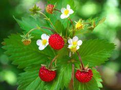 jahoda-jahodnik-jako-bylinka-ucinky-na-zdravi-co-leci-pouziti-uzivani