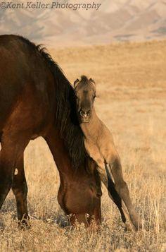 New filly and her mom - Great Basin Desert, Utah. http://kent-keller.artistwebsites.com/