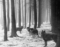 forest snow wolves
