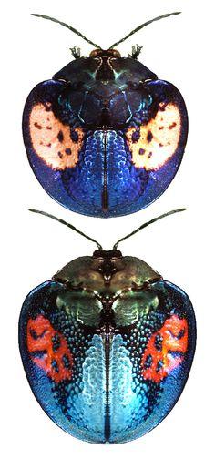 Discomorpha ducalis