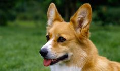 Everything you want to know about Pembroke Welsh Corgis including grooming, training, health problems, history, adoption, finding good breeder and more.