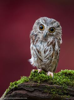 Saw-whet Owl - So Cute !