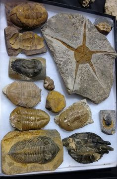 Fossils at Fossil Fest in Round Rock, Texas