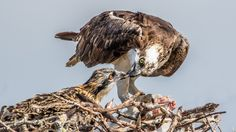 Josie and Elbert have three hatchlings! Whatever happens in the nest this year, osprey cam is an opportunity to learn about the secret lives of these unique raptors.