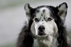Beloved Diesel, NIU Huskies mascot for 9 years and then mascot emeritus