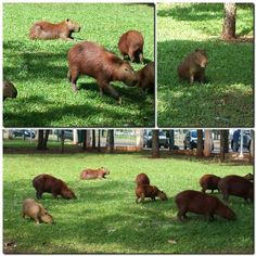 Wildlife - capybaras - Indian Nation's Park - Campo Grande - MS - Pantanal