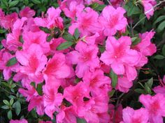 "Still Waters--Notes from a Virginia Shire: ""Azaleas"""