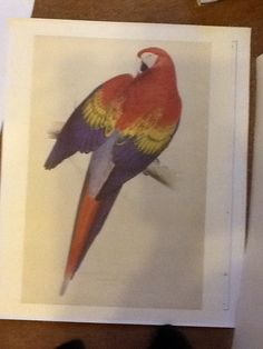 Edward Lear Macaw red and yellow