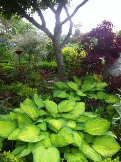 Funkia är också trevliga att plantera ihop med tulpanlökar. Det finns hostor som klarar torrare läge men de flesta trivs bäst i halvskugga.