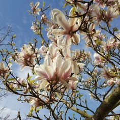 Just look at this beautiful magnolia tree in the sunshine tree is just a little walk up the road from our place  #magnolia #magnoliatree #nofilter #ireland #blooms #garden #flowers #nature #flower #plants #green #gardens #plant #summer #beautiful #flowerstagram #gardener  #love #greenthumb #instagood #naturelovers #picoftheday #growsomethinggreen #spring #landscape #photooftheday